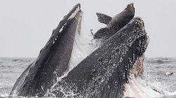 고래가 바다사자를 통째로 삼키는 광경이