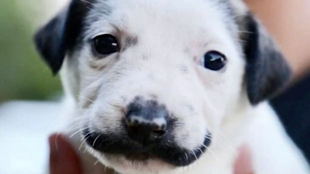 Adopt this adorable puppy - with a mustache!