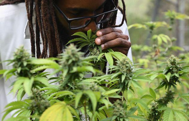 El doctor Machel A. Emanuel huele y analiza las plantas de cannabis en el campus de la Universidad West...