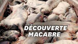 L214 dévoile les images de porcs en décomposition dans un élevage du
