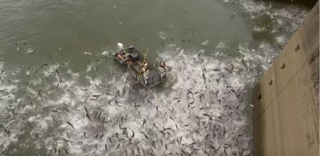 Κεντάκι: Οι αρχές «χτυπούν» με ρεύμα κοπάδια κυπρίνων λόγω του υπερπληθυσμού