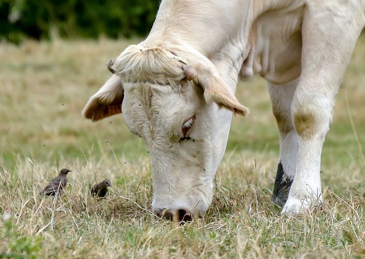 A cow grazes in a field whose major part of grass was burnt by the sun and the heatwave in recent days, on July 31, 2019 in G