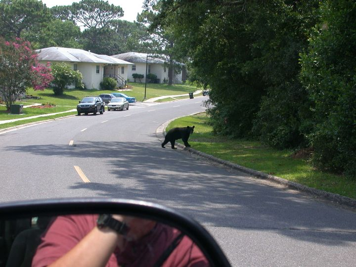Black bear near military housing at Eglin Air Force Base in the Florida Panhandle, May 17, 2010.