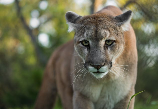 Dee Gallant encountered a cougar much like this one while walking her dog on Vancouver Island earlier...