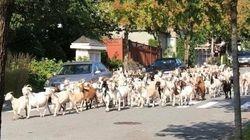 100頭のヤギが大脱走。住宅地を埋め尽くす(動画)
