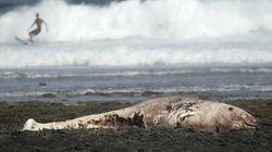 Ισλανδία: Πενήντα φάλαινες-πιλότοι εκβράσθηκαν στις νότιες ακτές της