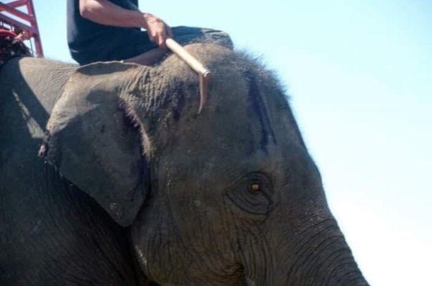 태국 관광지에서의 '코끼리 학대' 사진이 공분을 사고