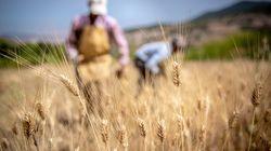 Agriculture: La production céréalière enregistre une baisse cette