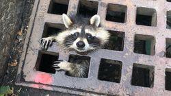 下水溝にハマったアライグマを消防隊が救出。「4本足の友人をいつだって助けたい」