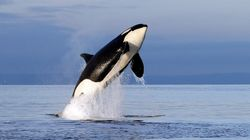 Killer Whale Population Takes A Hit With 3 Presumed