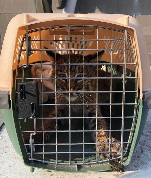 お巡りさんに保護された迷子の子猫ちゃん