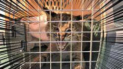 迷子の迷子の子猫ちゃん…お巡りさんが保護しようとしたら、最強のヤマネコだった