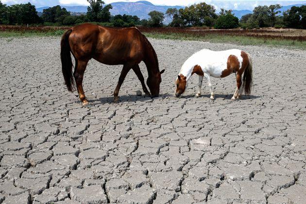 Des chevaux sur un sol morcelé par la sécheresse en Corse, le 27 juillet
