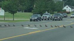 Ευγενικοί οδηγοί σταματούν για να περάσει μία ατελείωτη σειρά από