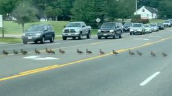 Kind Drivers Patiently Wait As Ridiculously Long Line Of Ducks Cross The