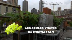 Il fait pousser les seules vignes de Manhattan depuis son