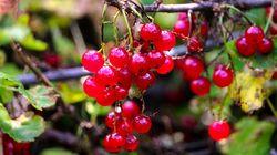 Sabia que groselha é fruta? Conheça a poderosa frutinha que tem mais vitamina C que a