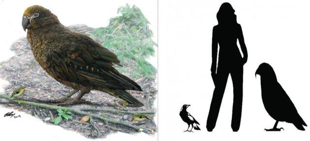 Les restes d'un perroquet géant découverts en