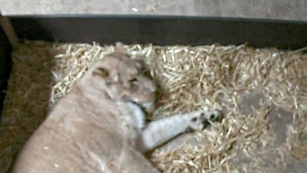 lioness eats 2 newborn cubs