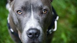 Department Of Transportation Rejects Delta's Ban On Pit Bulls As Service