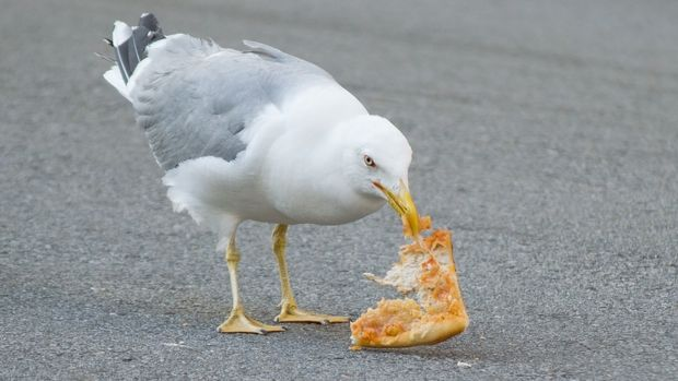 seagull eating pizza in the street