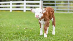 B.C. RCMP Investigating After 5-Day-Old Baby Cow Killed With