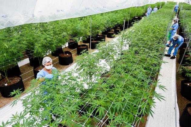 A medicinal cannabis