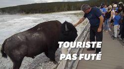 Les bisons de Yellowstone ne veulent pas des caresses de