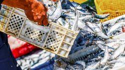 Espagne: La police jette 24.000 kilos de sardines du Maroc pensant qu'elles contenaient du