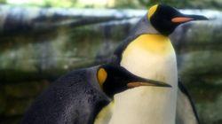 Casal de pinguins machos adota ovo abandonado em zoológico de