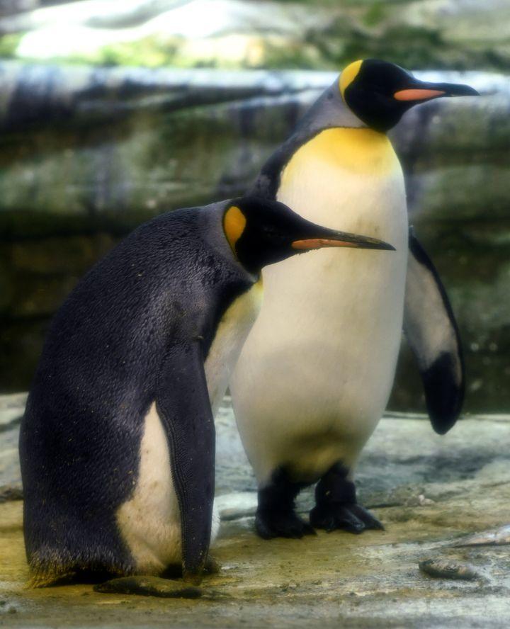 Casal de pinguinsSkipper e Ping, ambos de 10 anos.