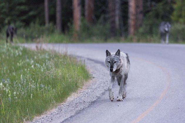 A female wolf is seen at Banff National