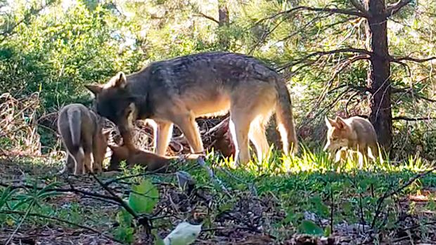 This June 18, 2019 photo from remote camera video provided by the California Department of Fish and Wildlife shows an adult wolf and three pups in Lassen County in Northern California. Officials say at least the three new pups have joined the only known pack in California. Amaroq Weiss, who advocates for West Coast wolves with the Center for Biological Diversity, says that the return of wolves to the state is an important development for conservation efforts. (California Department of Fish and Wildlife via AP)