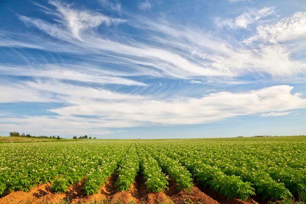Un champ de pommes de terre à
