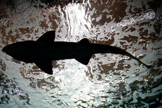 Καρχαρίες στα ρηχά: Κυκλοφορούν και στην