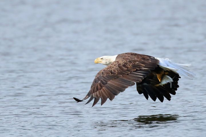 An American bald eagle flies over Mill Pond with a freshly caught fish on July 29, 2018 in Centerport, New York.