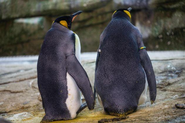 Coppia di pinguini gay adotta un uovo abbandonato allo zoo di