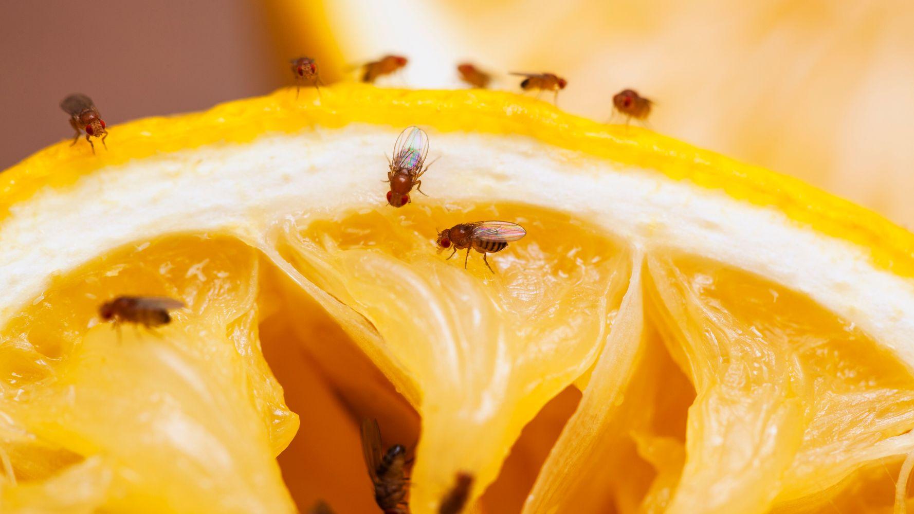 Probleme De Moucheron Dans La Cuisine comment se débarrasser des maudites mouches à fruits