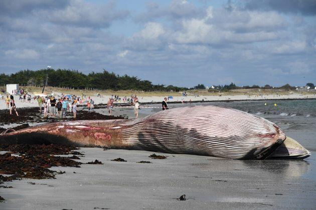 Un rorqual de 13 mètres s'échoue sur une plage du