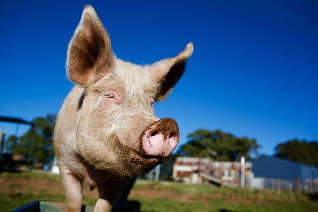 Two Australian Farmers Have Been Jailed For Smuggling Danish Pig Semen In Shampoo Bottles