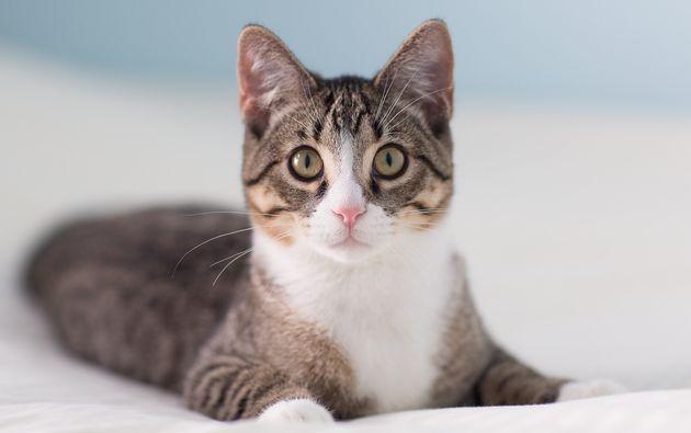 Le vaccin diminuerait la protéine Fel-d1 sécrétée par les chats et à...