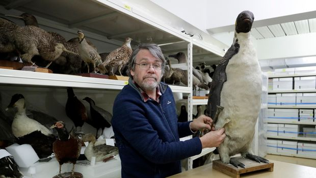 Dr. Paul Scofield, senior curator natural history at Canterbury Museum, holds the fossil, a tibiotarsus, top, next to a similar bone of an Emperor Penguin in Christchurch, New Zealand, Wednesday, Aug. 14, 2019. Scientists in New Zealand say they've found fossilized bones from an extinct monster penguin that was about the size of a human and swam the oceans some 60 million years ago. (AP Photo/Mark Baker)