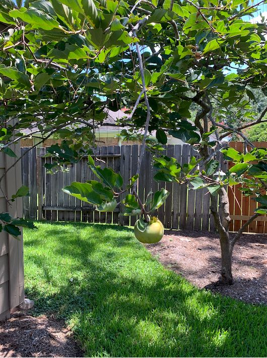 Fu Shing's pomelo tree has been bearing fruit for several years. The pomelo, which is similar to a grapefruit, is a citrus that grows well in the Houston heat.