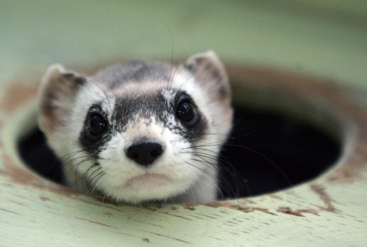 The black-footed ferret was brought back from the brink of extinction by a U.S. Fish and Wildlife Service captive breeding pr