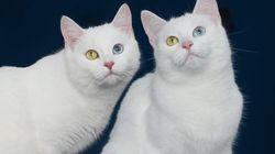 Estamos hipnotizados pelos olhos destas gatinhas russas — e