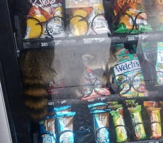 The raccoon was freed from the machine unharmed, though it's unclear if he actually scored any good