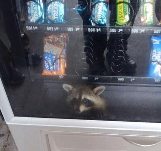 미국 고등학교 과자 자판기 안에서 너구리가