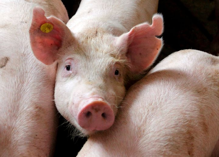 Indiana Farmers Union Joins Fight Against Noxious 8,000-Hog Agribusiness Operation