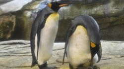 Un couple de manchots gays du zoo de Berlin adopte un œuf