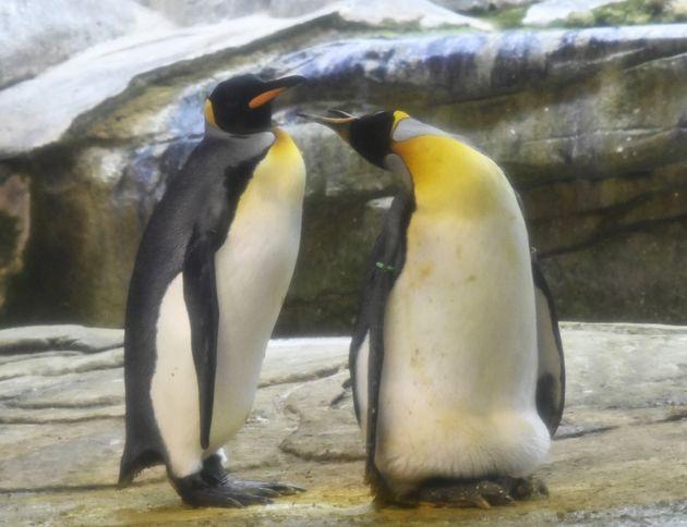 Au zoo de Berlin, un couple de manchots gays adopte un